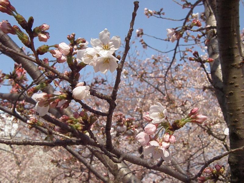 靭公園 桜